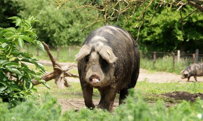 Linderöd-Schwein