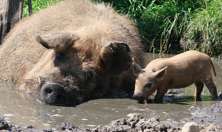 Rotes Wollschwein