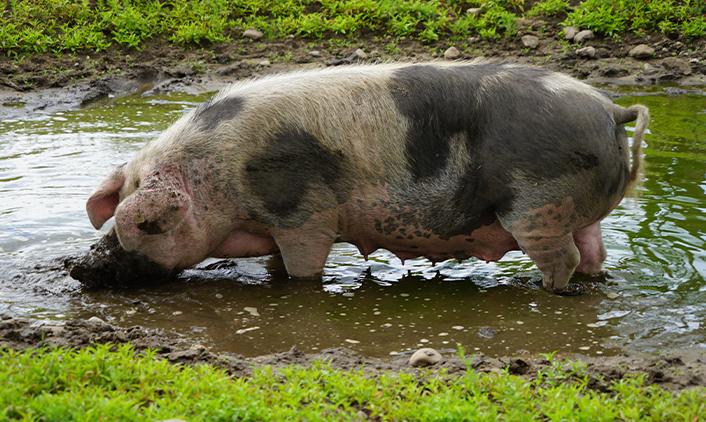 Dänisches Sortbroget-Schwein