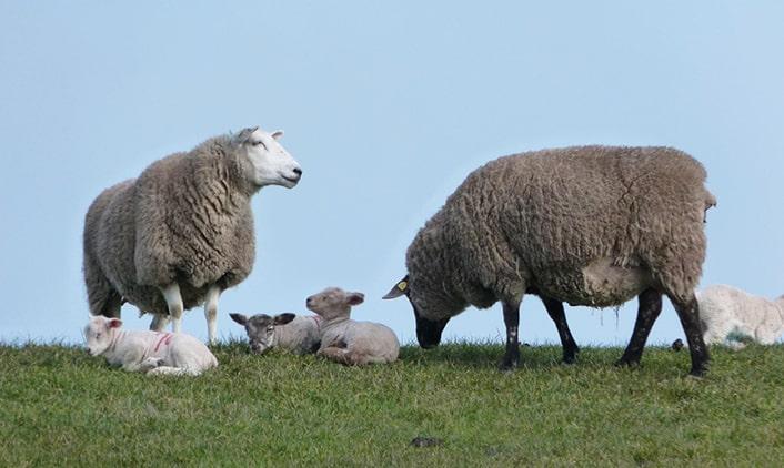 Suffolk-Texel-Lamm
