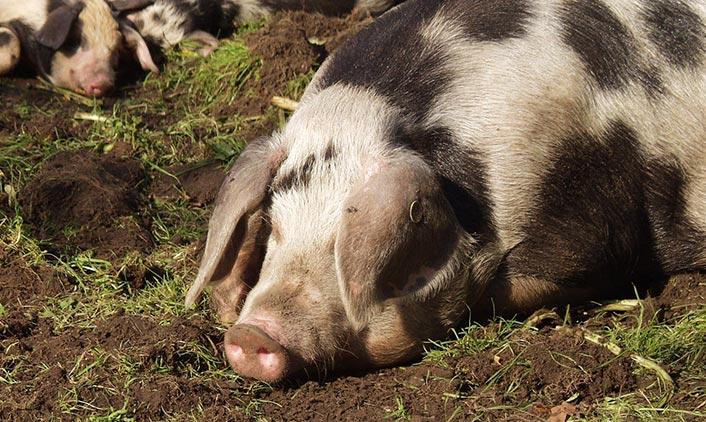 Buntes Bentheimer Schwein
