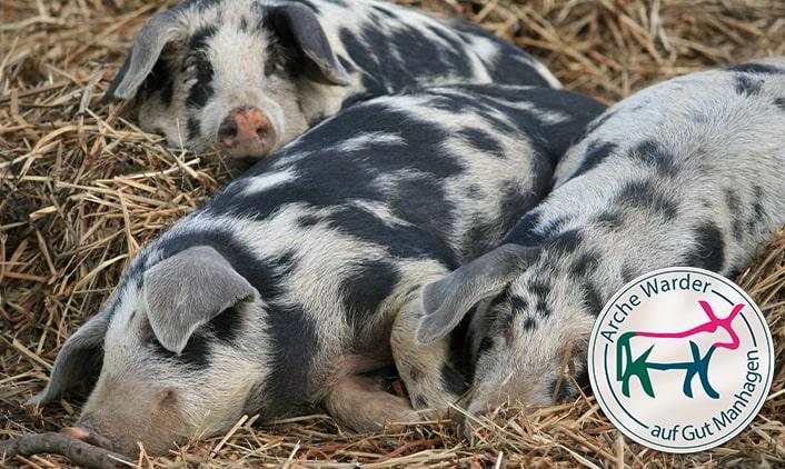 Turopolje Schwein