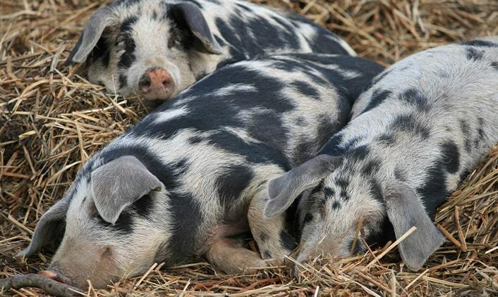 Turopolje-Schwein