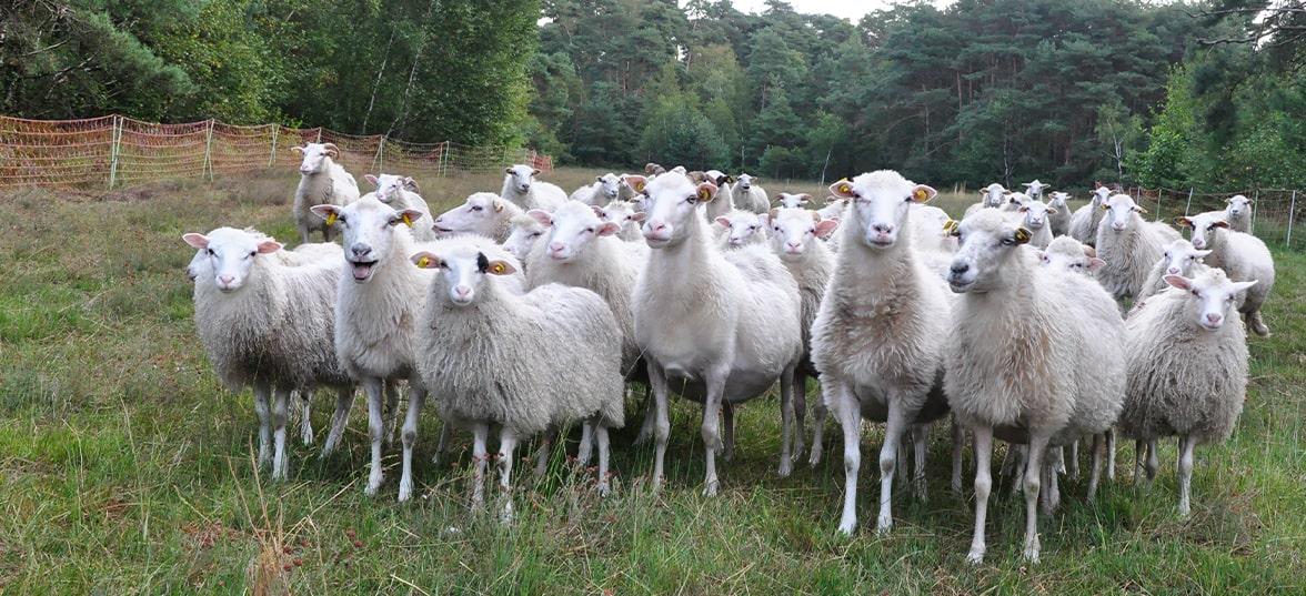 lammfleisch-weiße-hornlose-heidschnucke
