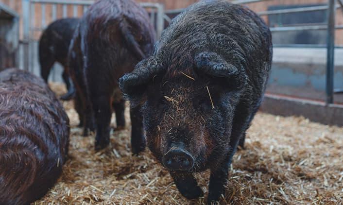 fleisch-wollschweinkreuzung
