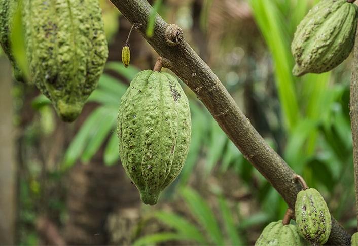Venchi Cacao