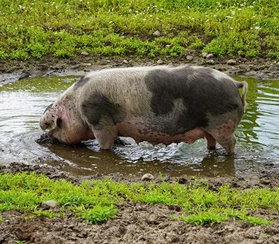 Fleisch vom Rotbunten Husumer Schwein