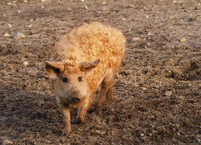 Mangalitza Wollschwein