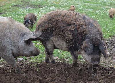 Schwalbenbauch Wollschwein